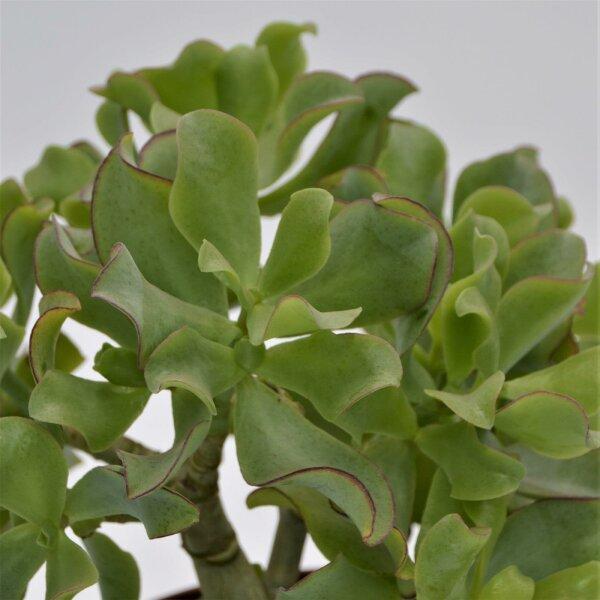 Crassula arborescens ssp. undulatifolia - 17cm