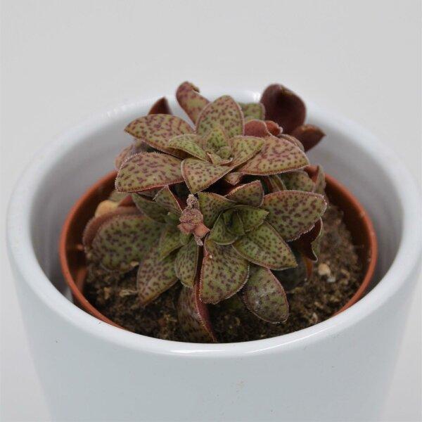 Crassula exilis subsp. picturata - 5,5cm