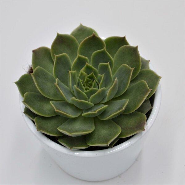 Echeveria Lina - 8,5cm