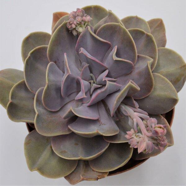 Echeveria Serena - 15cm