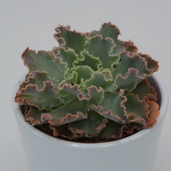 Echeveria shaviana Curly Locks - 8,5cm