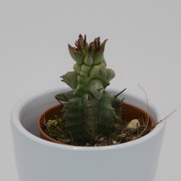 Euphorbia poligona f. monstruosa - 5,5cm