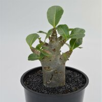 Adenium obesum Baobab - 12cm