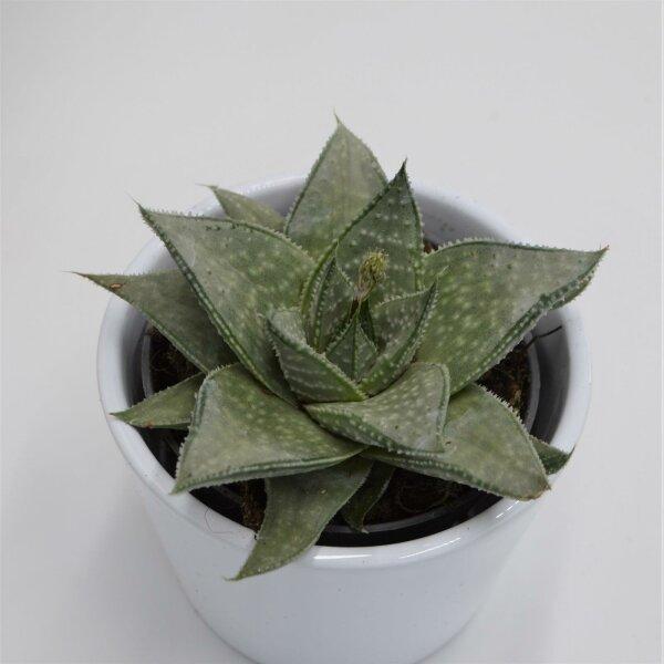 Aloe Wonder - 8,5cm