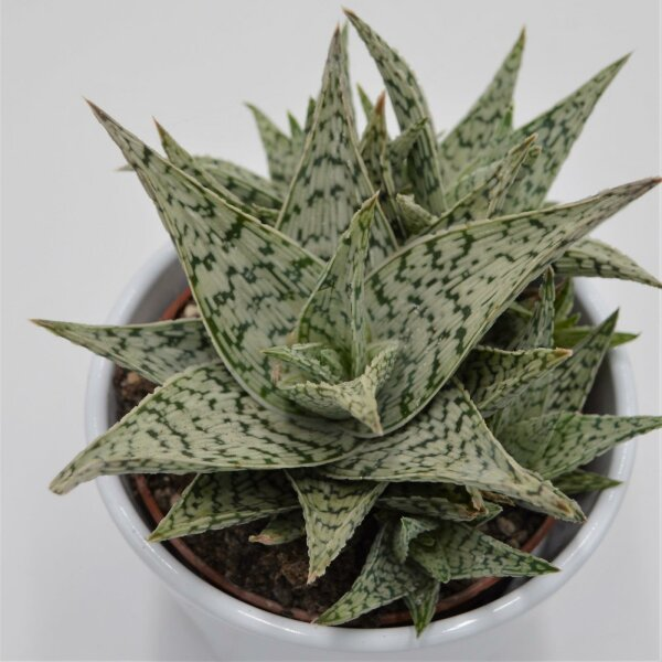 Aloe Doran Black - 10,5cm