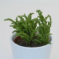 Crassula lycopodioides - 8,5cm
