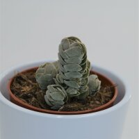 Crassula Pangolin - 8,5cm