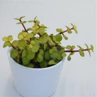 Portulacaria afra Lemon - 8,5cm