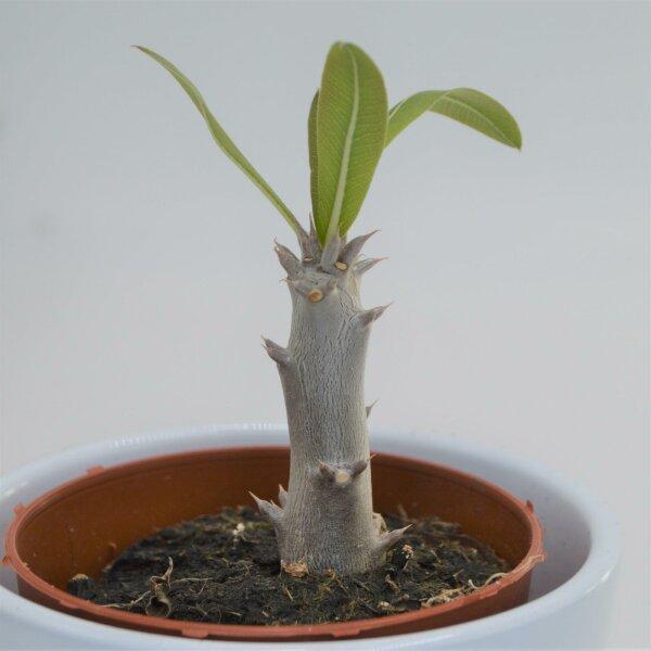 Pachypodium densiflorum - 8,5cm