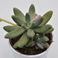 Pachyphytum Captain Jessop  - 12cm