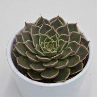 Graptopetalum Canopus - 8,5cm