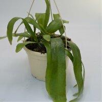 Epiphyllum pumillum - 15cm Ampel