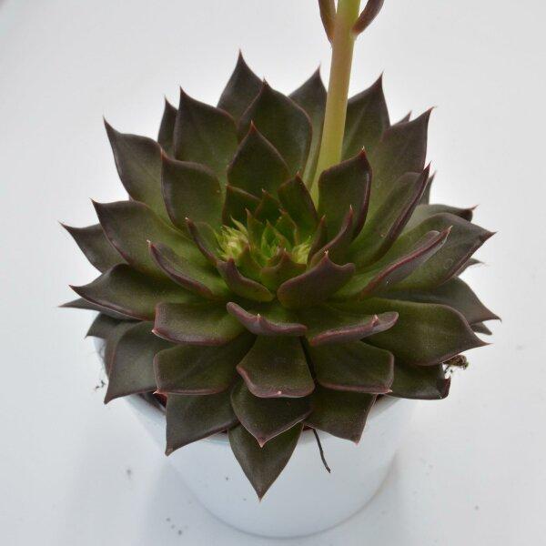 Echeveria Black River - 12cm