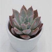 Echeveria colorata f. brandtii - 6cm