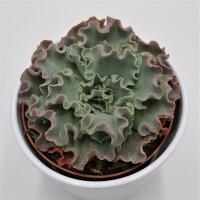 Echeveria shaviana Curly Locks - 10,5cm