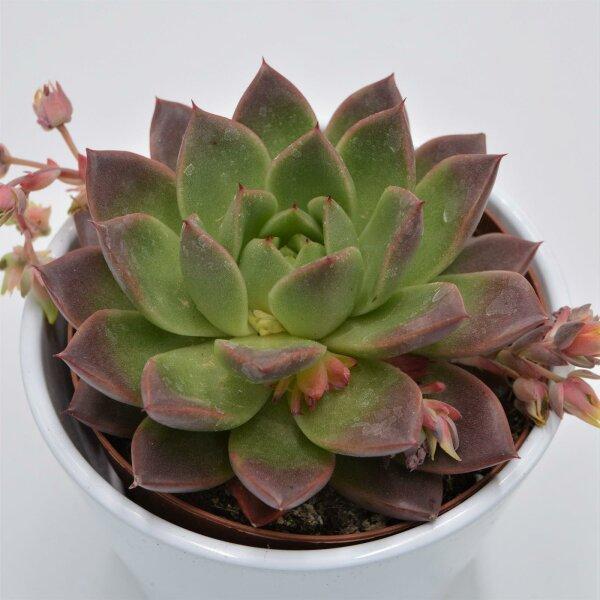 Echeveria Roja - 12cm