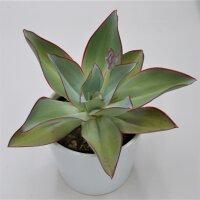 Echeveria subrigida - 12cm