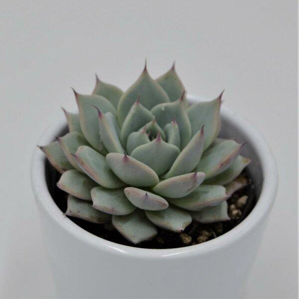 Echeveria colorata - 6cm