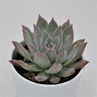 Echeveria colorata f. brandtii - 10,5cm
