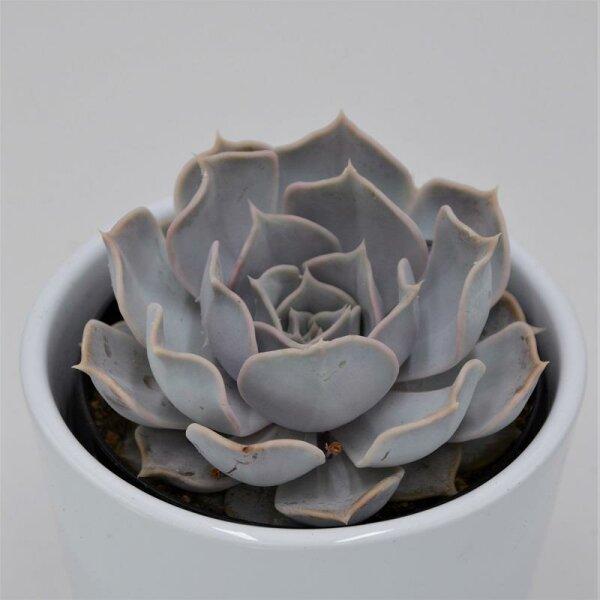 Echeveria lilacina - 9cm