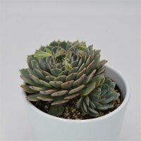 Echeveria Pinwheel - 10,5cm