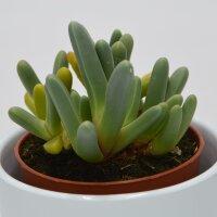 Cheiridopsis denticulata - 8,5cm