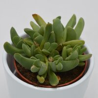 Cheiridopsis purpurea - 8,5cm