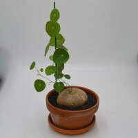 Stephania erecta - 17cm im Tontopf