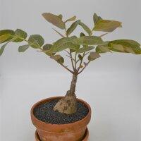Phyllanthus Myrabillis - 17cm im Tontopf