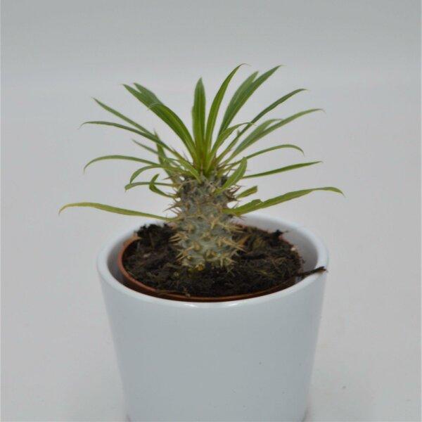 Pachypodium lamerei - 8,5cm