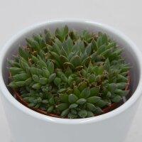Orostachys spinosa - 8,5cm