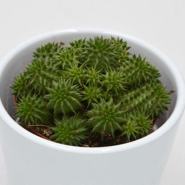 Euphorbia susannae - 8,5cm