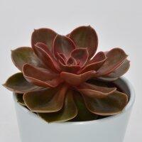 Echeveria Magic Pearl - 10,5cm