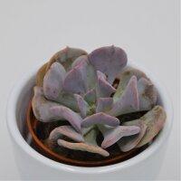Echeveria Cubic Frost - 5,5cm
