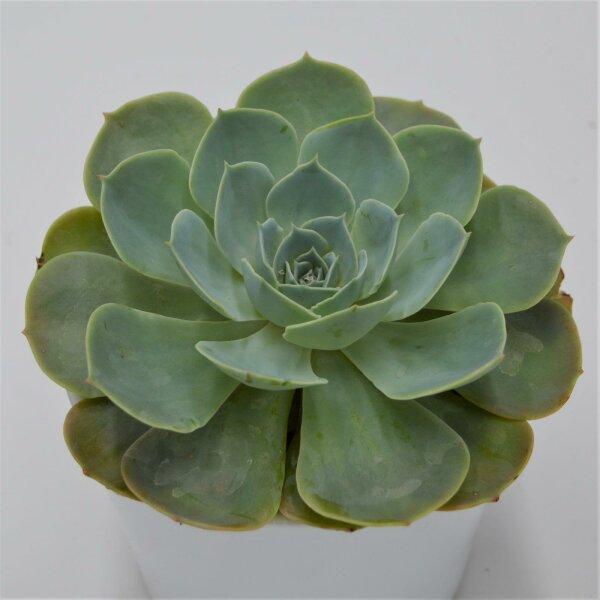 Echeveria secunda - 12cm