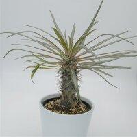 Pachypodium geayi - 12cm