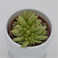 Echeveria agavoides var. corderoyi f. cristata - 5,5cm