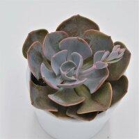 Echeveria Dusty Rose - 9cm
