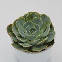 Echeveria Loves Light - 9cm