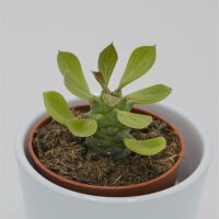 Euphorbia ritchiei - 8,5cm