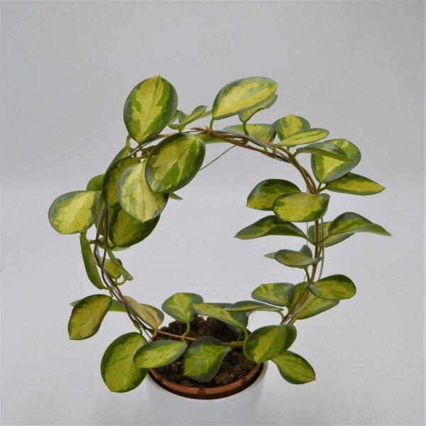 Hoya australis Lisa - 12cm mit Bogen