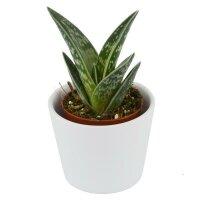 Aloe variegata - 5,5cm
