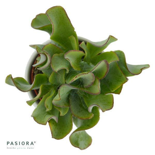 Crassula arborescens Curly