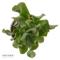 Crassula arborescens ssp. undulatifolia - 6cm