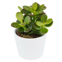 Crassula minor