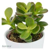 Crassula minor - 5,5cm