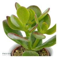 Crassula ovata - 6cm