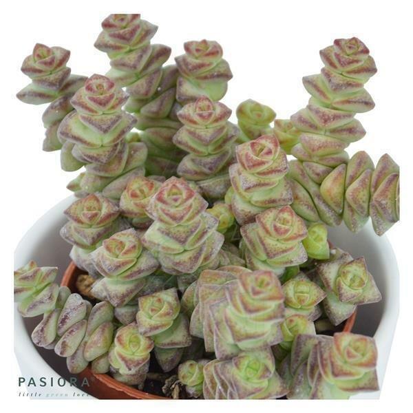 Crassula rupestris subsp. marnieriana - 6cm