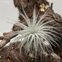 Tillandsia tectorum Snowball