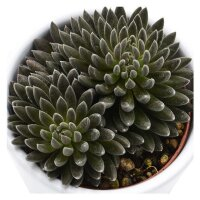 Sinocrassula yunnanensis - 5,5cm